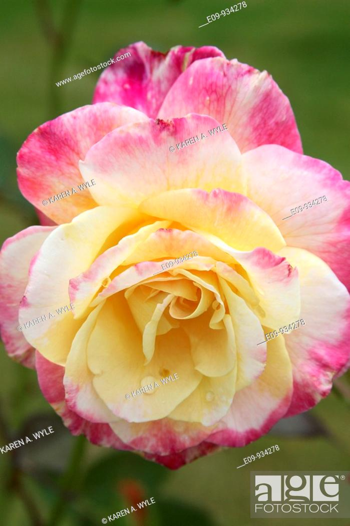 Stock Photo: pink and yellow rose with water drops on several petals.