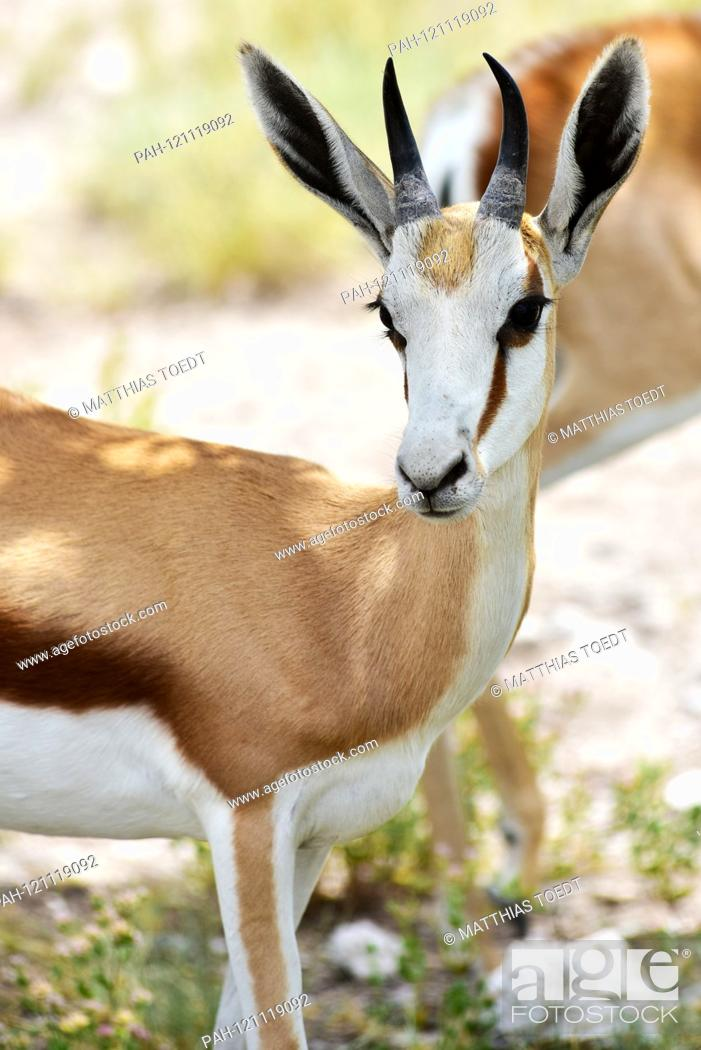 Stock Photo: Young springbok (Antidorcas marsupialis) in the Namibian Etosha National Park. This antelope species is distributed exclusively throughout Southern Africa.