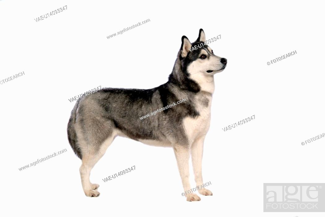 Stock Photo: cute, husky, loving, canines, domestic, house pet, siberian husky.