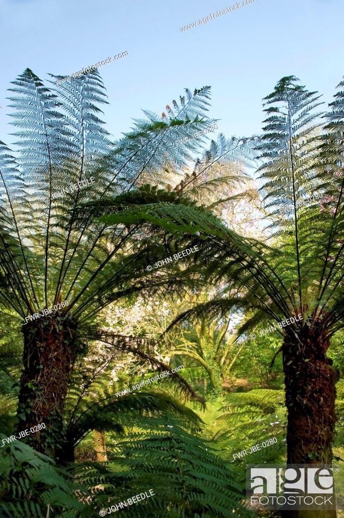 Stock Photo: Dicksonia antartica, Fern, Tree fern, Green subject.