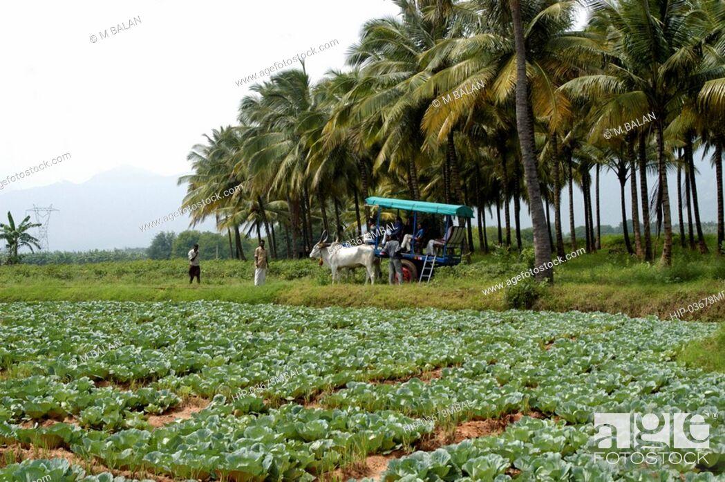 Imagen: VEGETABLE FARMS ON TAMIL NADU PLAINS NEAR KUMILY THEKKADY.