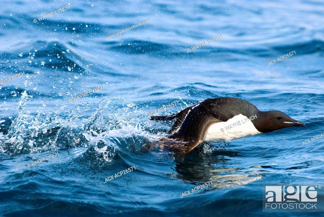 Stock Photo: Adult thick-billed murre Uria lomvia taking off from the surface of the sea near its nesting cliff, Svalbard Archipelago, Arctic Norway.