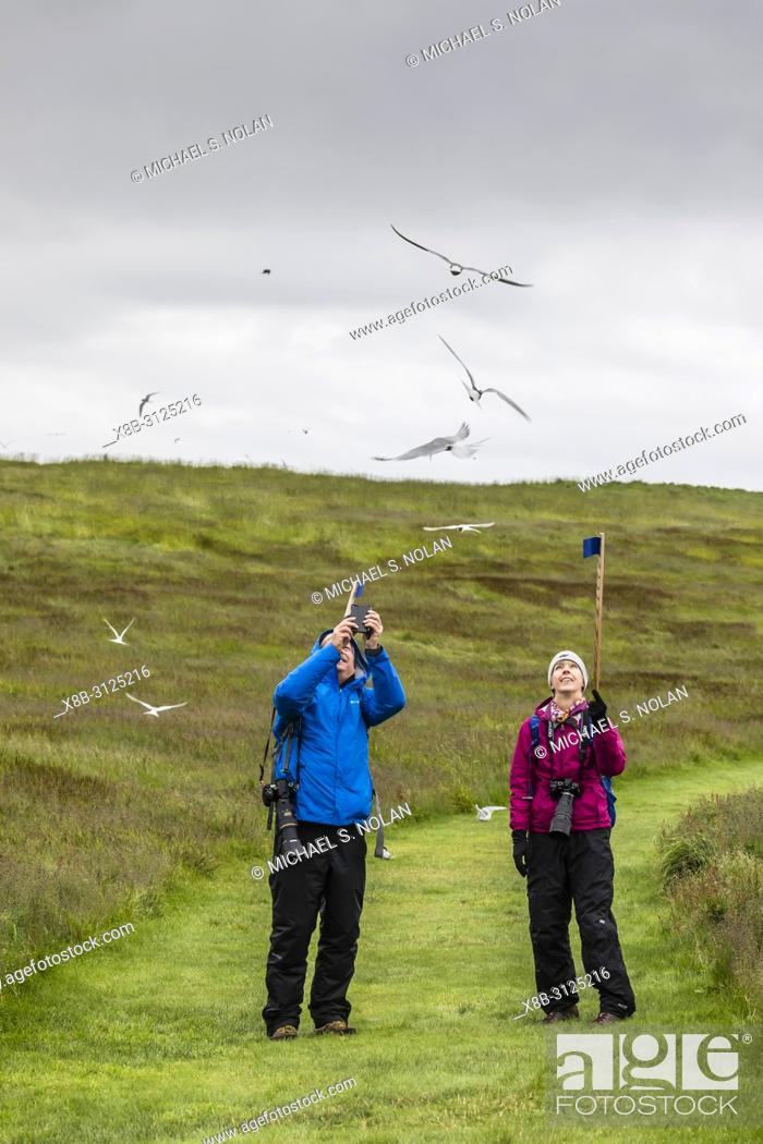 Imagen: Tourists being dive-bombed by Arctic terns, Sterna paradisaea, at nesting time, Vigur Island, Iceland.