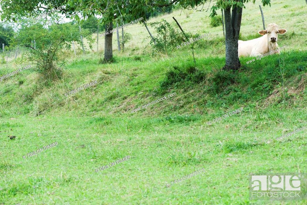 Stock Photo: Cow lying down in field.
