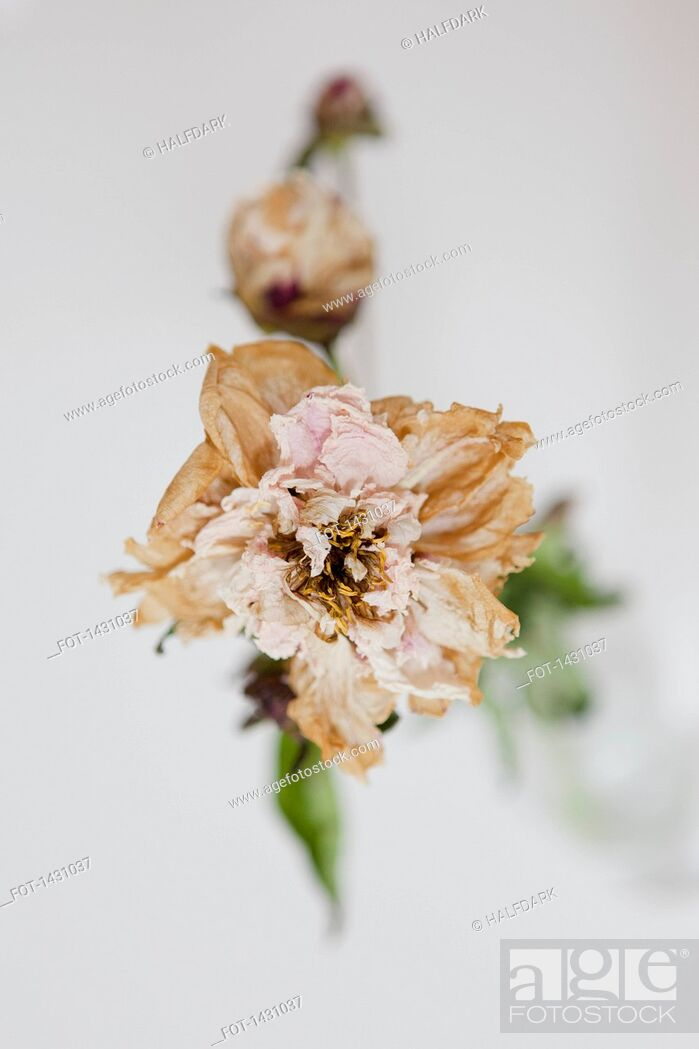 Stock Photo: High angle view of drying flower on white background.