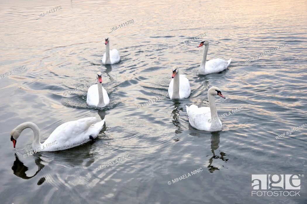 Stock Photo: Swans.
