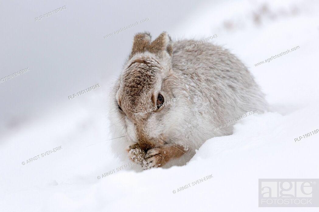 Imagen: Mountain hare / Alpine hare / snow hare (Lepus timidus) in white winter pelage grooming fur.