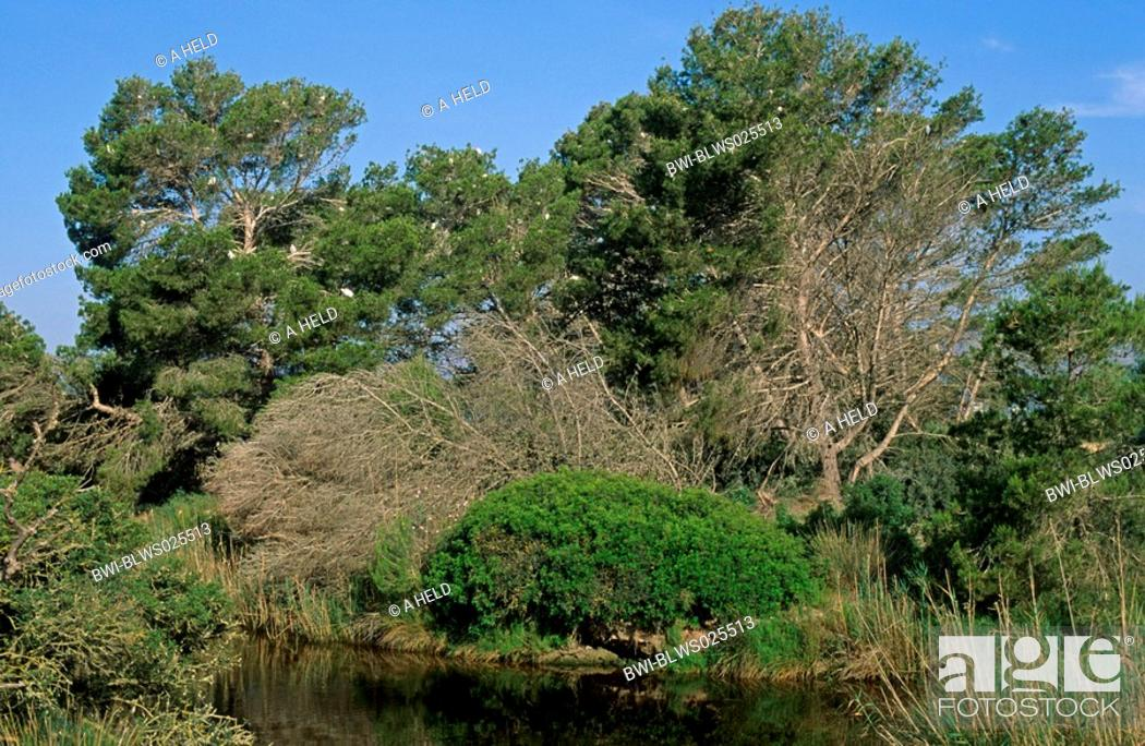 Stock Photo: aleppo pine Pinus halepensis, shore vegetation with a colony of herons, Spain, Majorca.