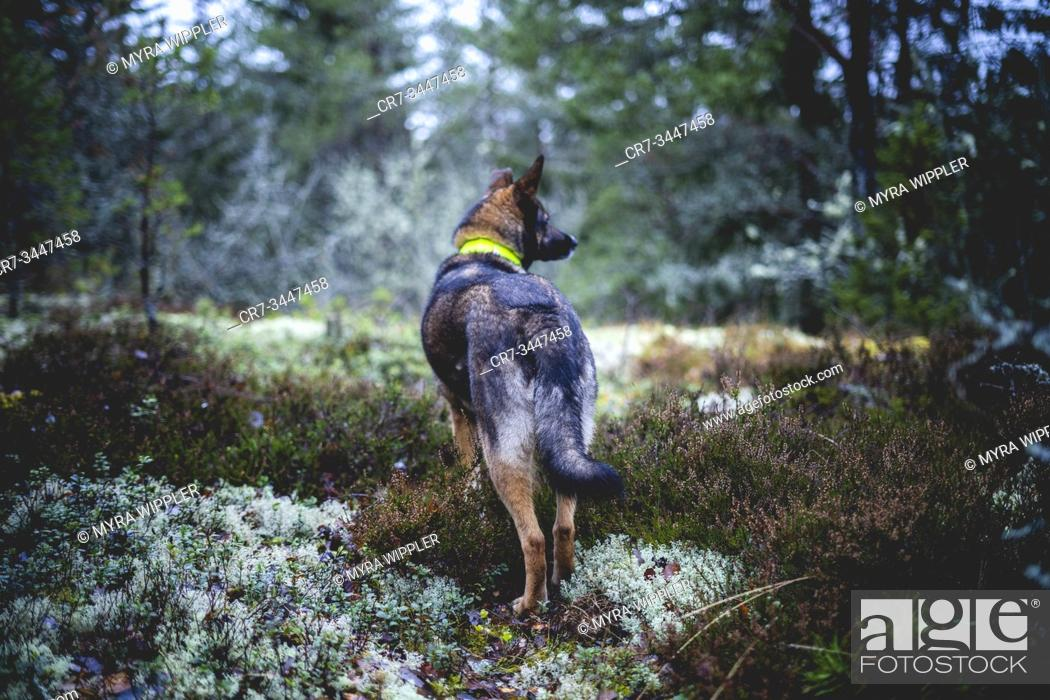 Stock Photo: Hunting with huntingdog shepherd mix and English Spaniel for deer and wildboar for wildlife managemet and food in Östergötland, Sweden.