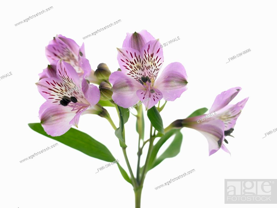 Alstroemeria Cultivar Alstroemeria Peruvian Lily Purple Subject White Background Stock Photo Picture And Rights Managed Image Pic Fwr Sw 0006 Agefotostock