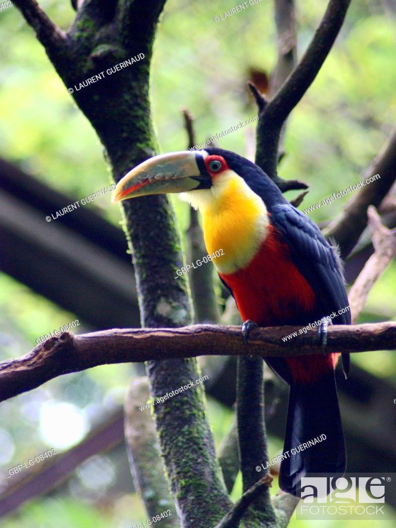 Stock Photo: Bird, Toucan-beak-green, OiseauxFoz, Foz Iguaçu, Brazil.