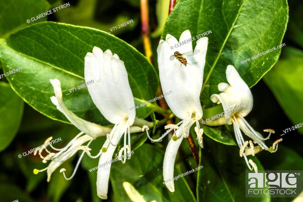 Stock Photo: White Honeysuckle (Lonicera japonica) Spring Flowers.