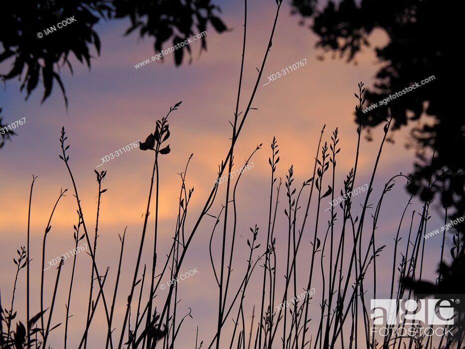 Stock Photo: sunset through reeds, Saint-Martin-de-Re, Ile de Re, Charente-Maritime Department, Nouvelle Aquitaine, France.