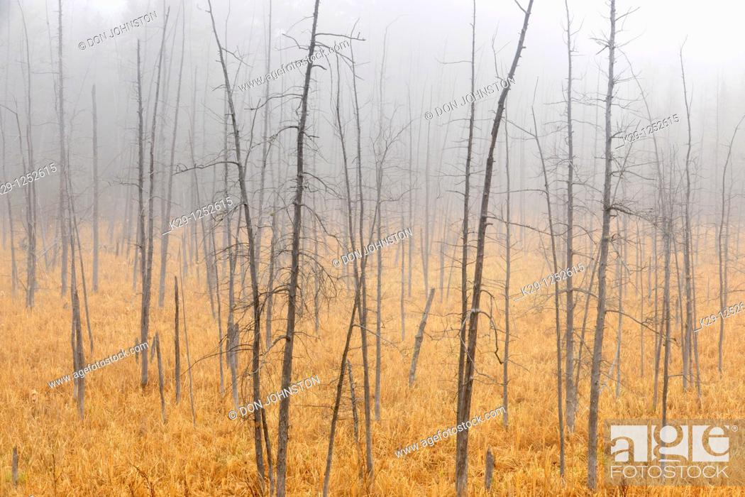 Stock Photo: Snags in marsh in light fog. Ontario. Canada.