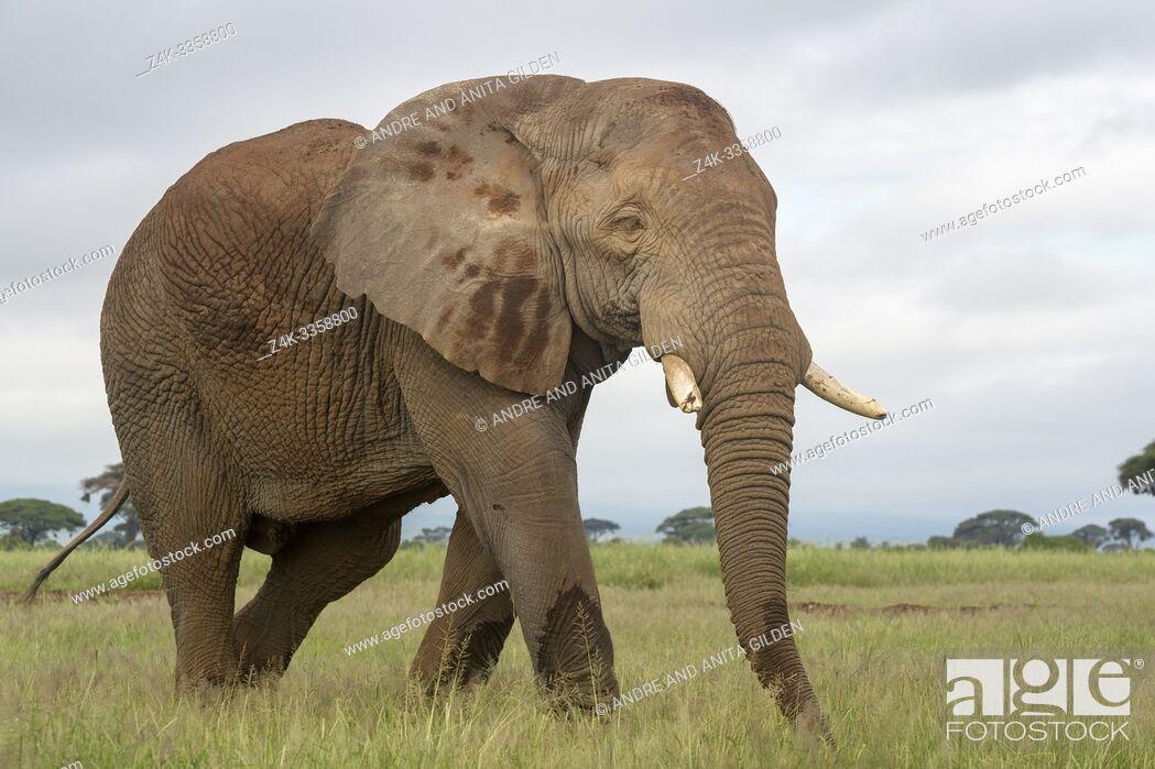 Imagen: African elephant (Loxodonta africana) bull walking on savanna, Amboseli national park, Kenya.