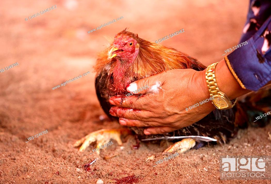Stock Photo: A rooster owner steadies his bloody bird at a cockfight the outskirts of Mexico City. Cockfighting originated in India, China, Persia.