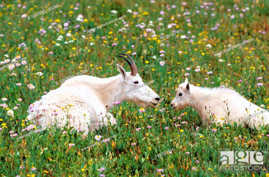 Stock Photo: North America, USA, Montana, Glacier National Park. Mountain Goats (Oreamnos americanus).