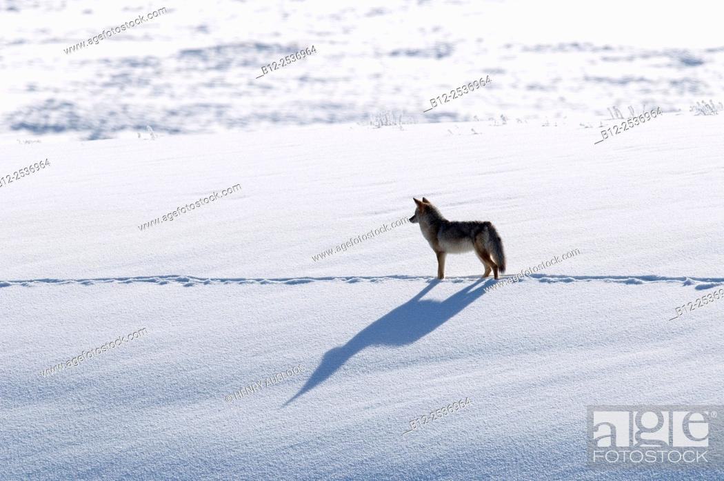 Stock Photo: Coyote in winter, Yellowstone, USA, Canis latrans.