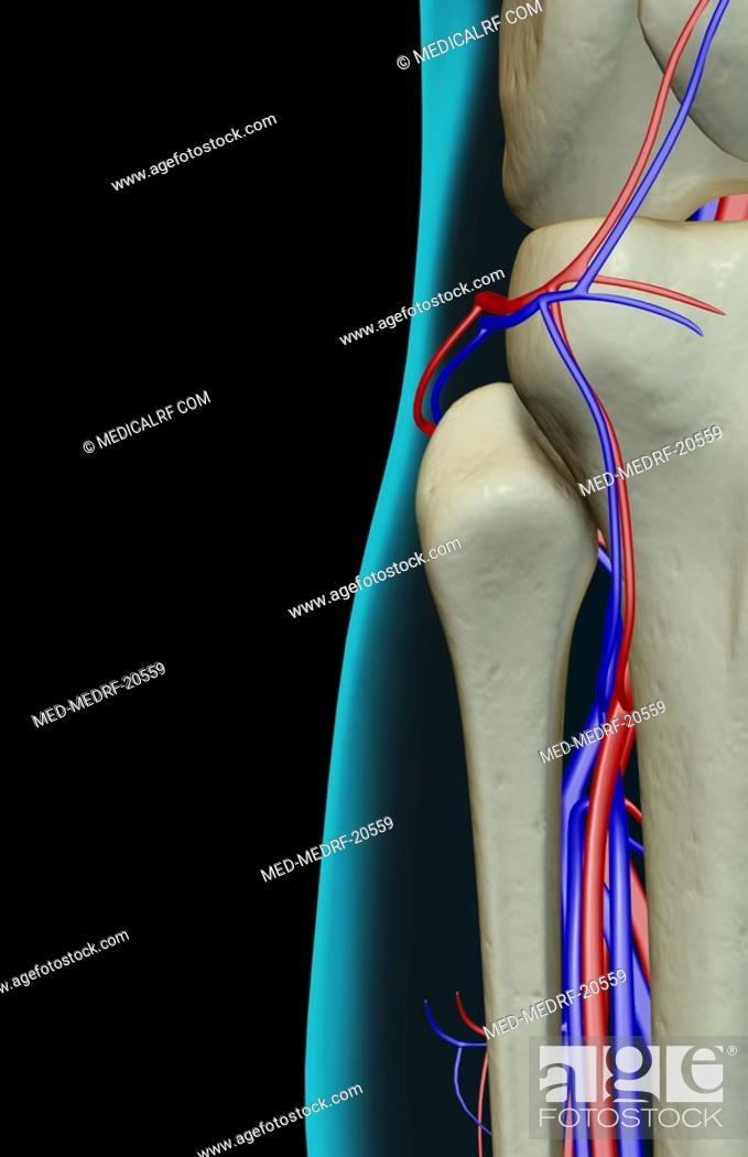 Stock Photo: The blood supply of the knee.