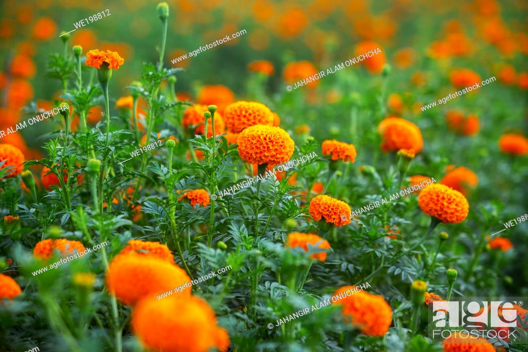 Stock Photo: Lots of beautiful blooms orange marigold flowers close-up views in the garden. Orange Green flowers background.