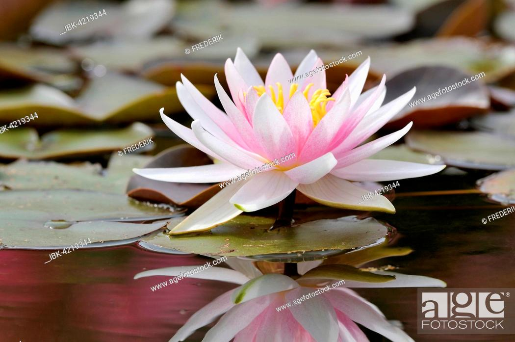 Stock Photo: Pink-white water lily (Nymphaea), with reflection in the lake, Germany.