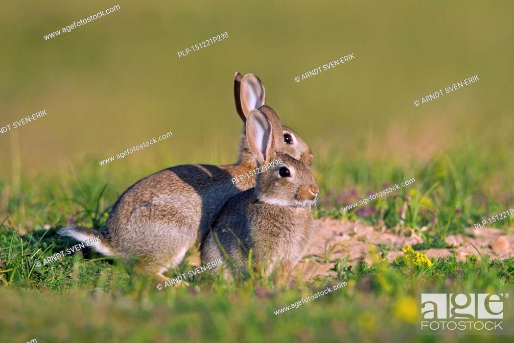 Stock Photo: Two young European rabbits / common rabbit (Oryctolagus cuniculus) in meadow in summer.