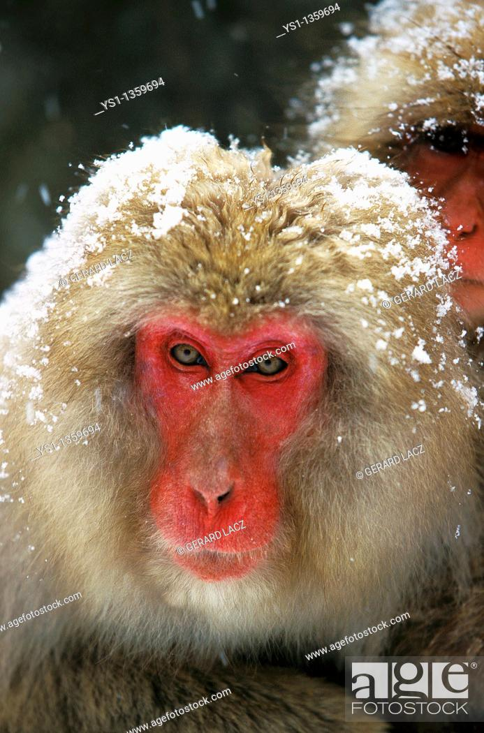 Stock Photo: JAPANESE MACAQUE macaca fuscata, PORTRAIT OF ADULT COVERED IN SNOW, HOKKAIDO ISLAND IN JAPAN.