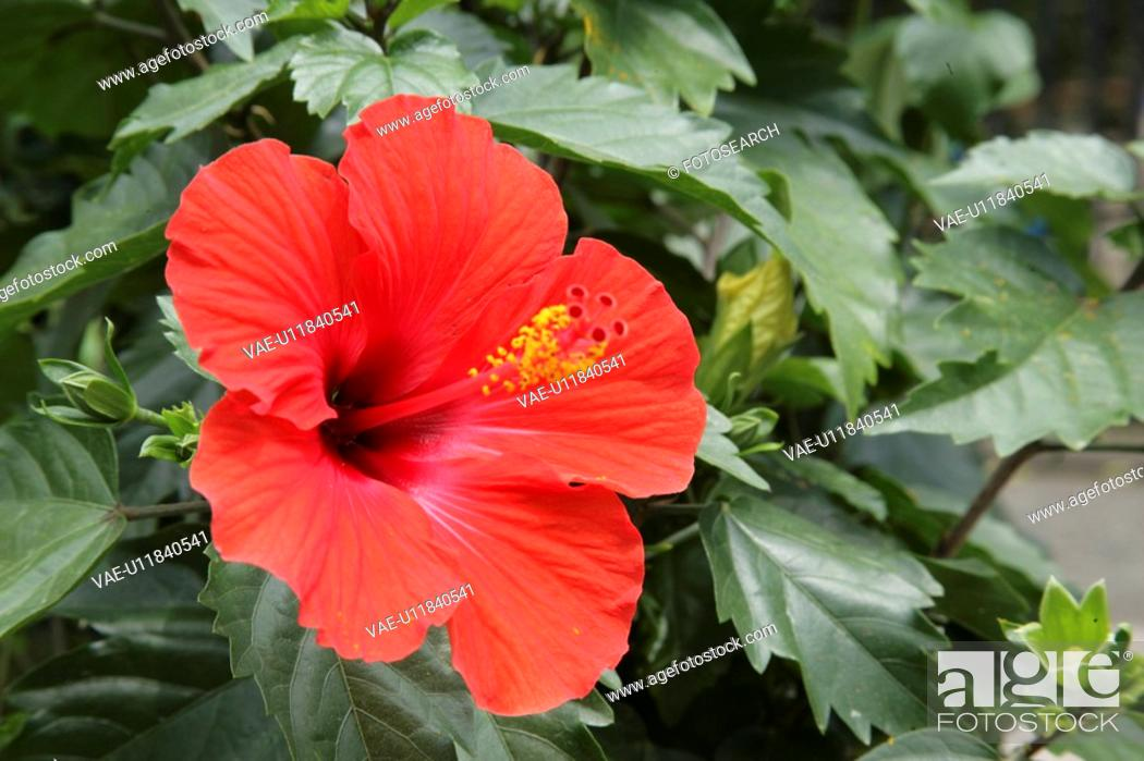 Stock Photo: The Flower Of A Hibiscus.