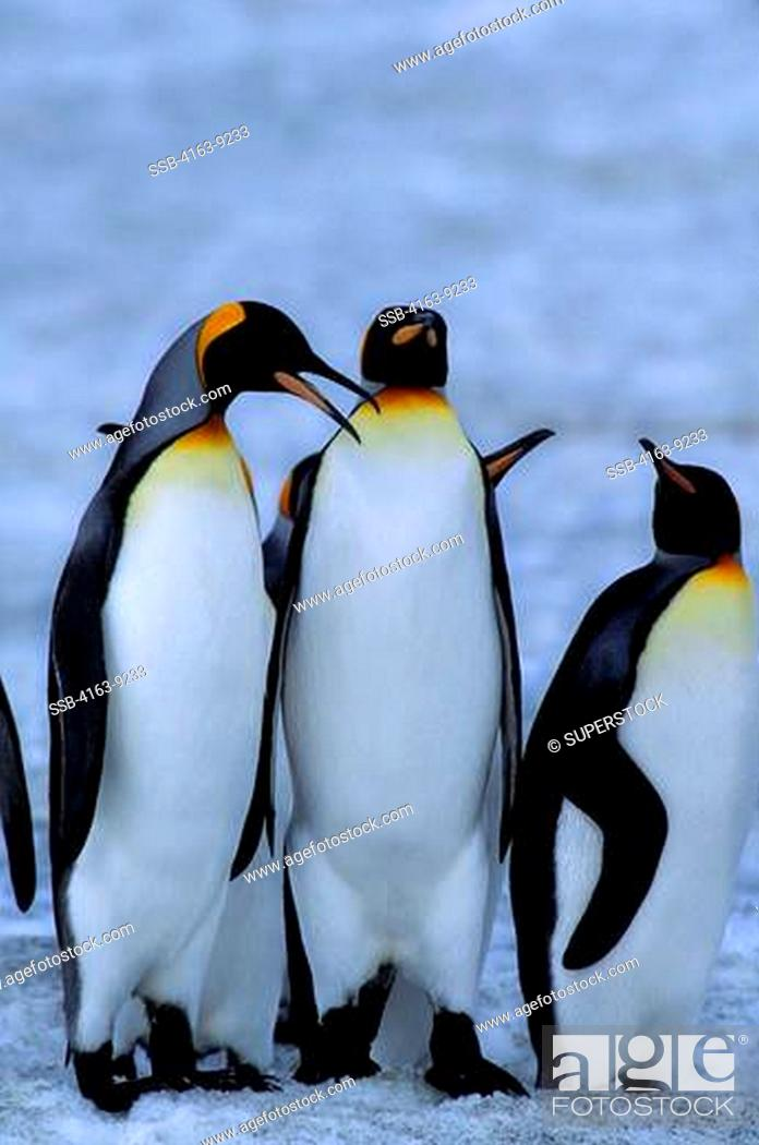 Stock Photo: SOUTH GEORGIA ISLAND,ST.ANDREWS BAY, KING PENGUINS ON SNOW.