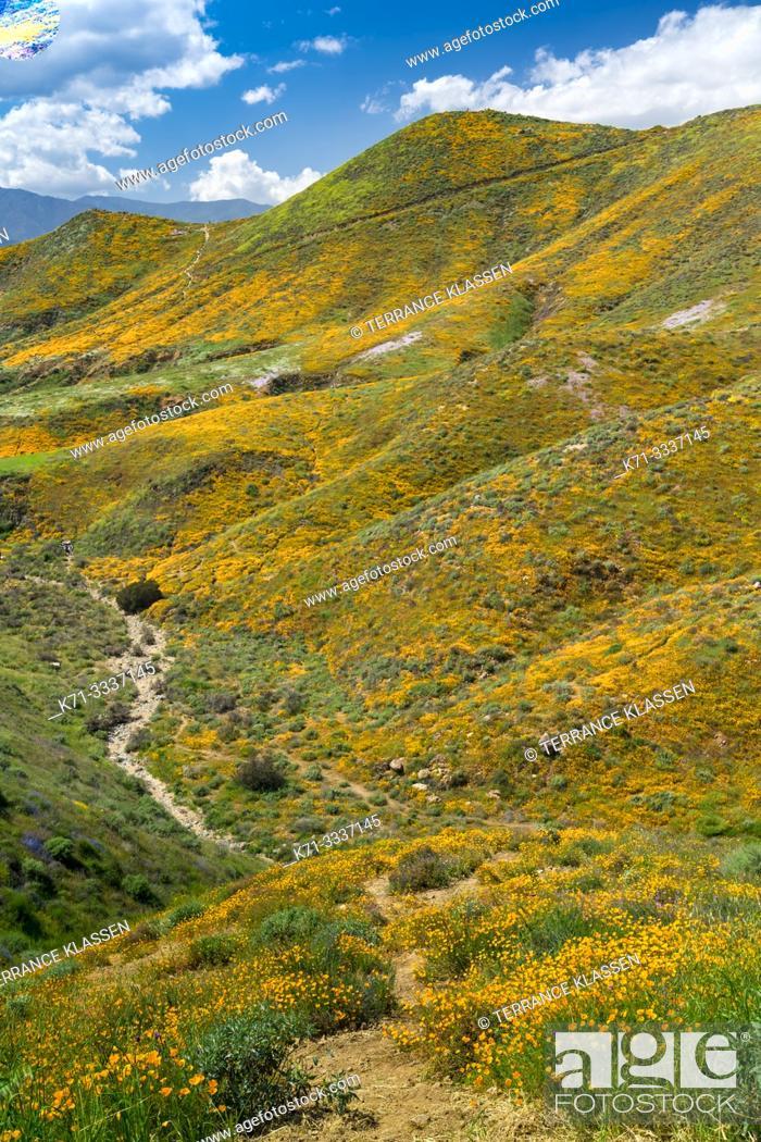 Stock Photo: California Poppies in Walker Canyon, Lake Elsinore, Superbloom of 2019, Riverside, California, USA.