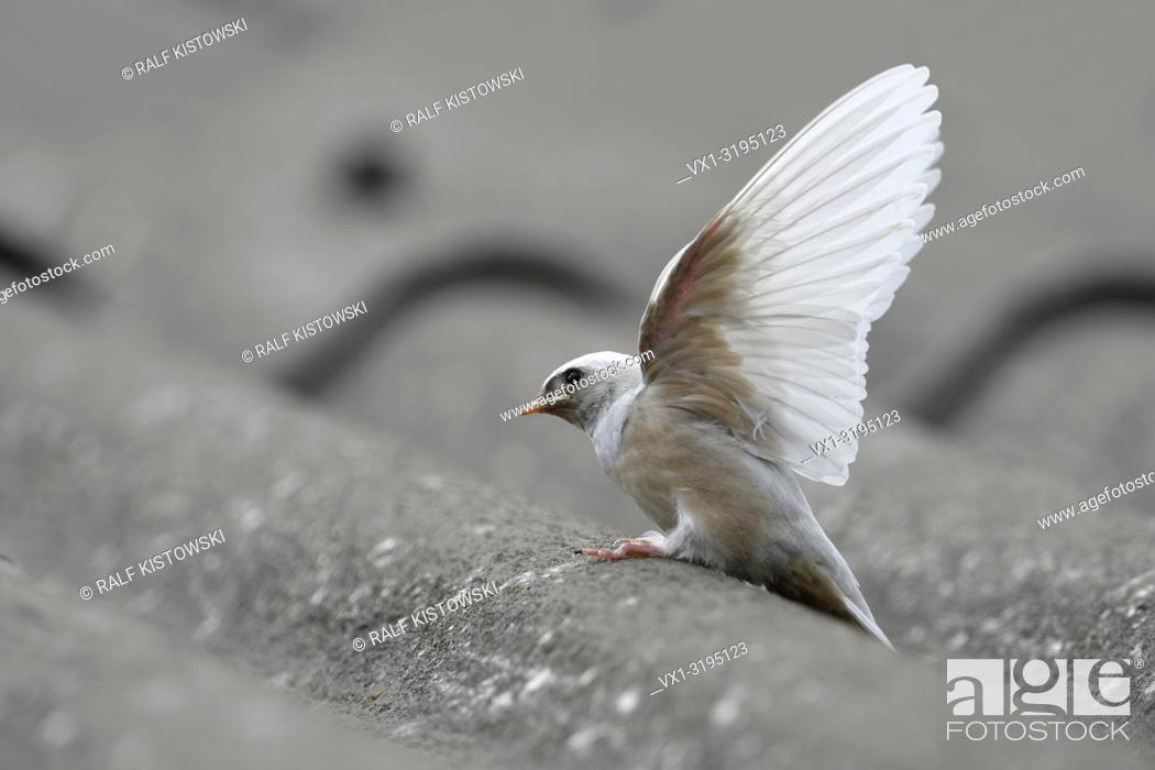 Stock Photo: Barn Swallow / Rauchschwalbe (Hirundo rustica), fledged, rare gene defect, white plumage, leucistic, leucism, perched on a roof, stretching wings, Europe.