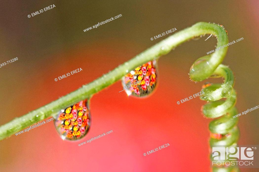 Stock Photo: Drops on tendril over tulip field.