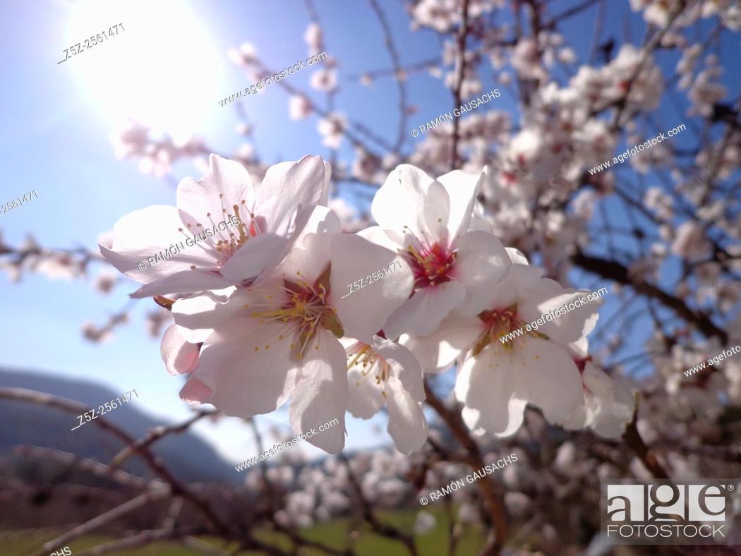 Stock Photo: Almond tree. Blossom (Prunus dulcis).