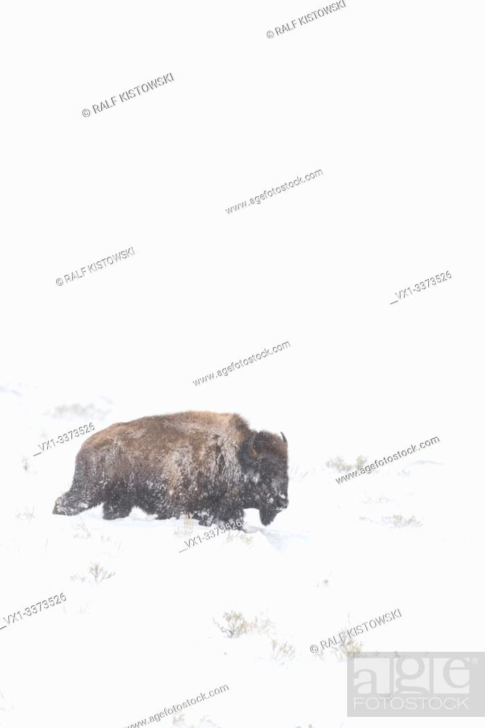Stock Photo: American bison / Amerikanischer Bison ( Bison bison ), adult, during blizzard, in hard conditions, walking through high snow, Yellowstone NP, USA. .