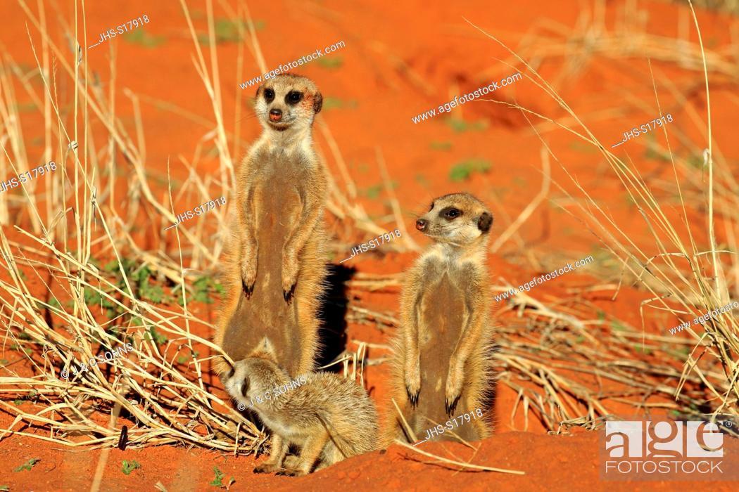 Stock Photo: Suricate, (Suricata suricatta), group with young warming up at den in morning, Tswalu Game Reserve, Kalahari, Northern Cape, South Africa, Africa.