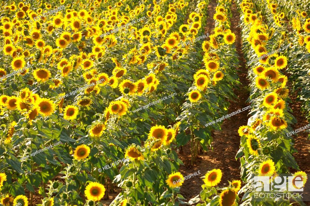Stock Photo: sun flower field in Dordogne.