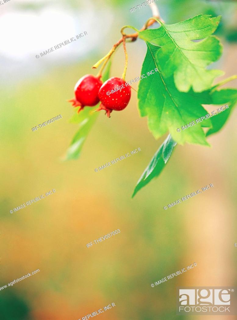 Stock Photo: fruits hung on the boughs.