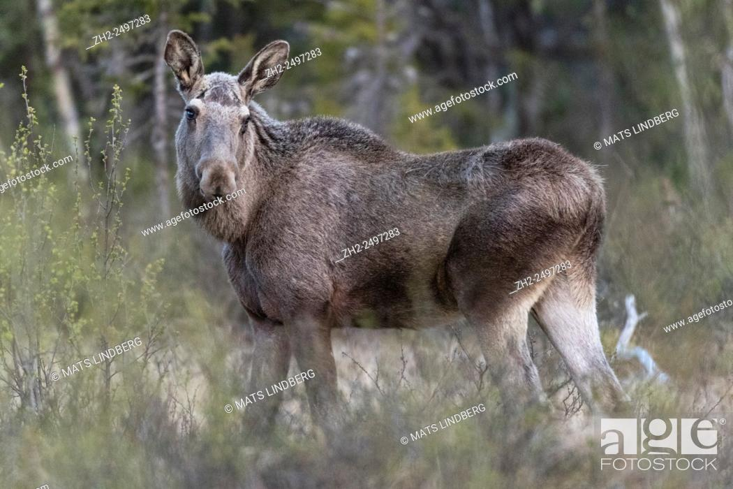 Stock Photo: Moose, Alces alces, standing and turning his head and looking in to the camera Gällivare, Swedish Lapland, Sweden.