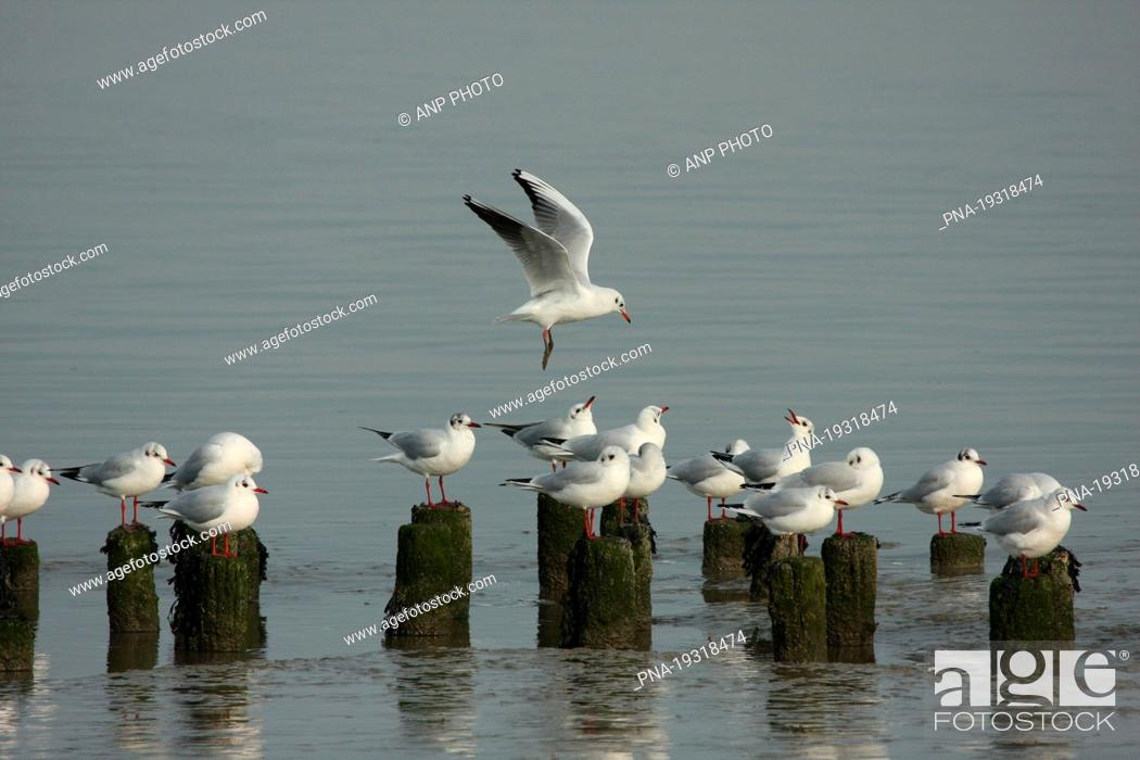 Imagen: Black-headed Gull Larus ridibundus - Waddensea, wadden, Holwerd, Holwert, Dongeradeel, Dongeradiel, Frisia, The Netherlands, Holland, Europe.
