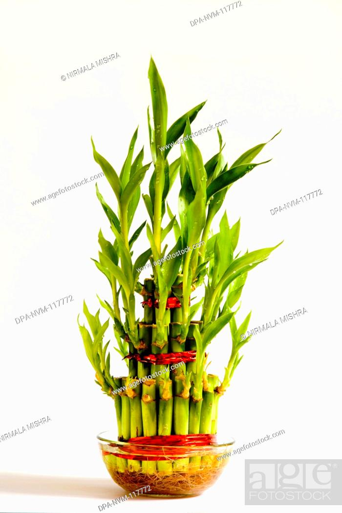 Lucky Bamboo Plant Symbol Of Luck In Health And Wealth Fengshui