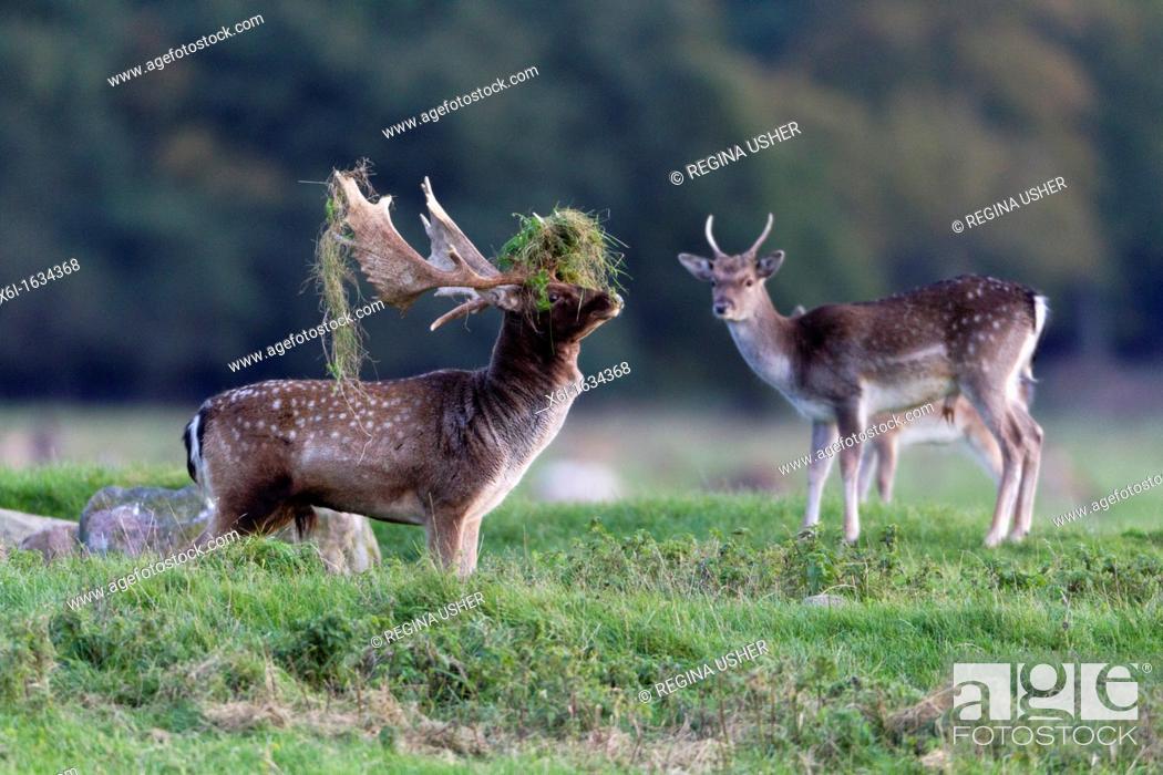 Stock Photo: Fallow Deer Dama dama, Buck Displaying with Grass on Antlers during the Rut, , Royal Deer Park, Klampenborg, Copenhagen, Sjaelland, Denmark.