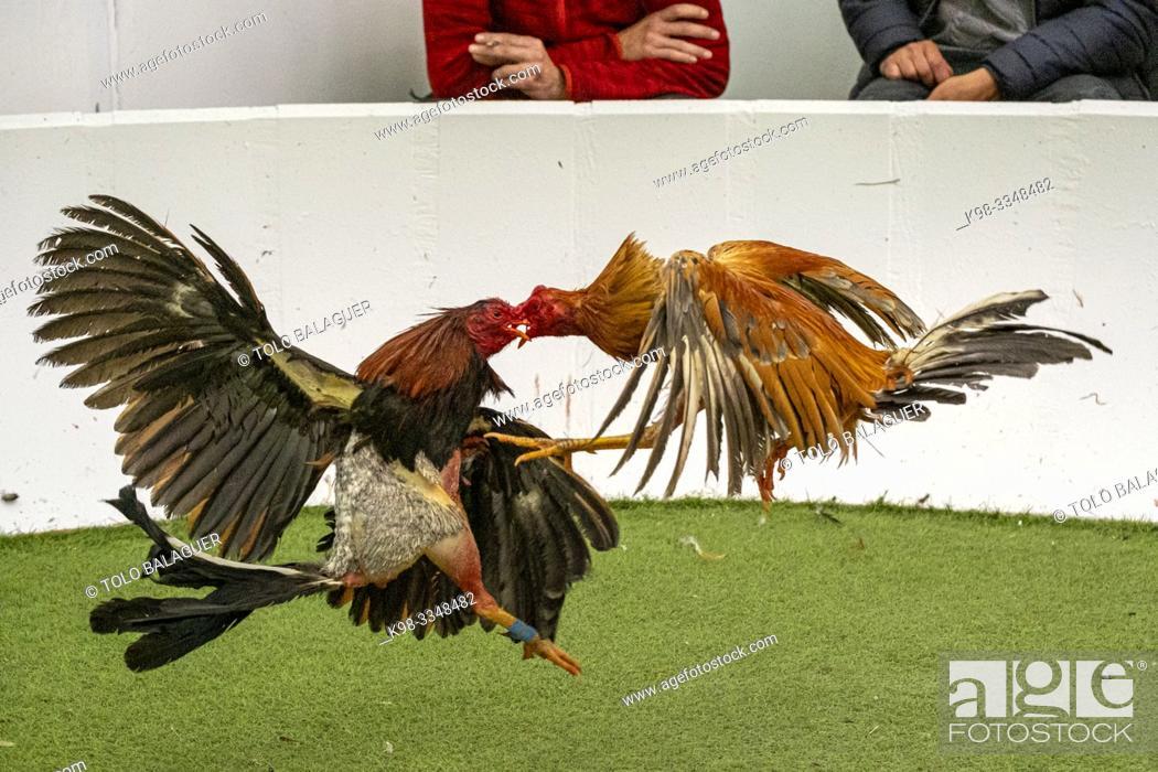 Stock Photo: Figting cocks, Mallorca, balearic islands, Spain.