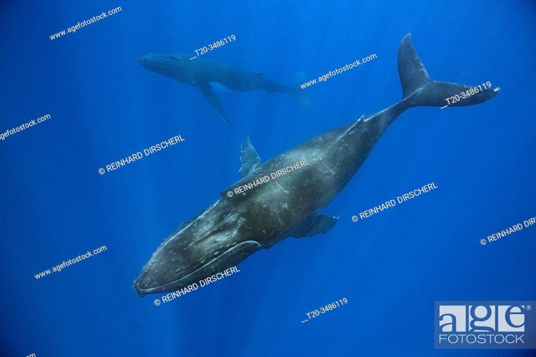 Stock Photo: Pair of Humpback Whales, Megaptera novaeangliae, Moorea, French Polynesia.