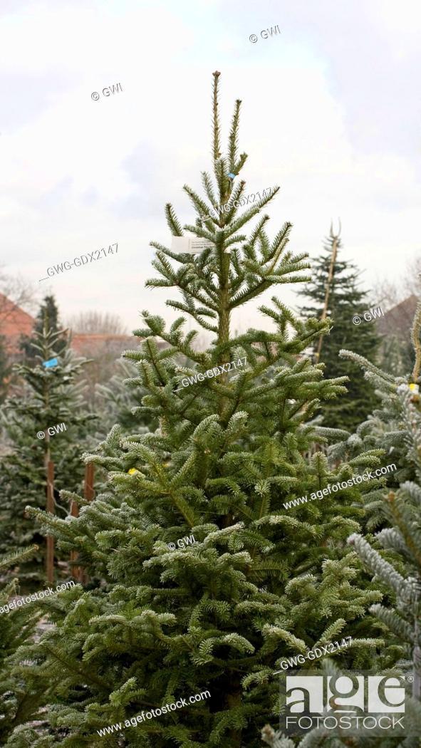 Stock Photo - ABIES BALSAMEA (BALSAM FIR) THE CHRISTMAS TREE FARM HAWKWELL - ABIES BALSAMEA (BALSAM FIR) THE CHRISTMAS TREE FARM HAWKWELL, Stock