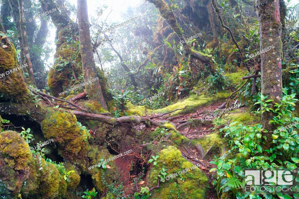Stock Photo: Mossy Forest, Cameran Heightland, Malaysia.