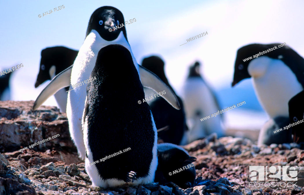 Stock Photo: AdÈlie Penguins Pygoscelis adeliae standing face to face Petermann Island, Antarctica.