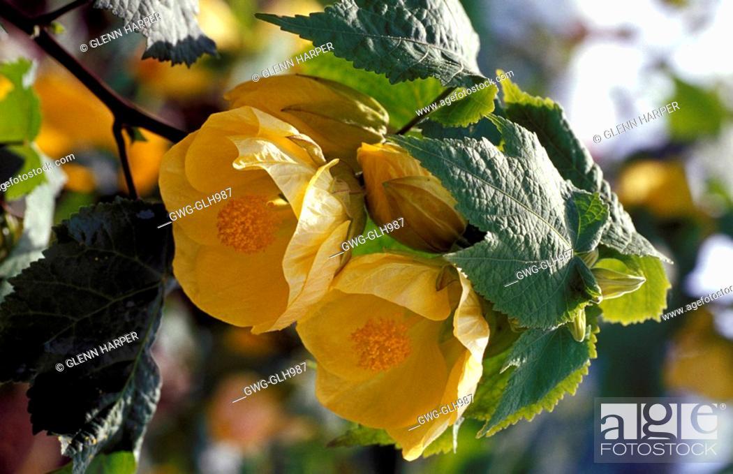 Abutilon Canary Bird Shrub Yellow Flowers Close Up Stock Photo