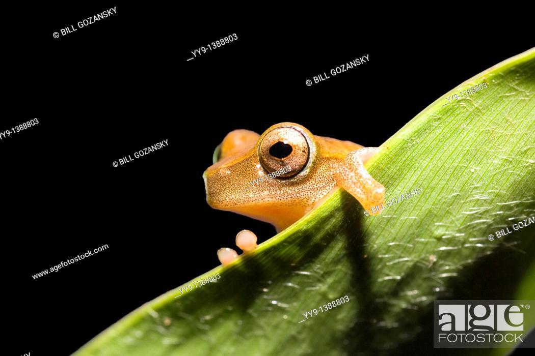 Stock Photo: Tree Frog - La Selva Jungle Lodge, Amazon Region, Ecuador.