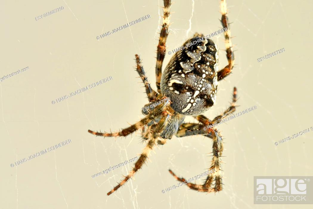 Stock Photo: a garden spider in its web in a macro.