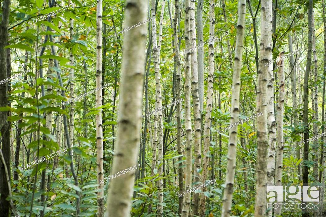 Stock Photo: Forest of aspen trees, selective focus.